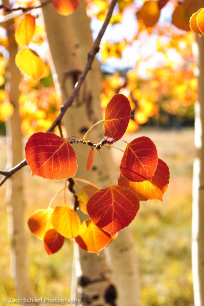 Red aspen leaves near Duck Creek, Utah