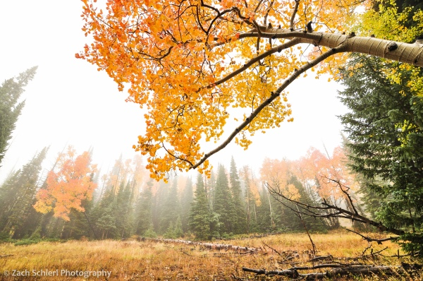 Colorful Aspens in the Fog, Markagunt Plateau, UT