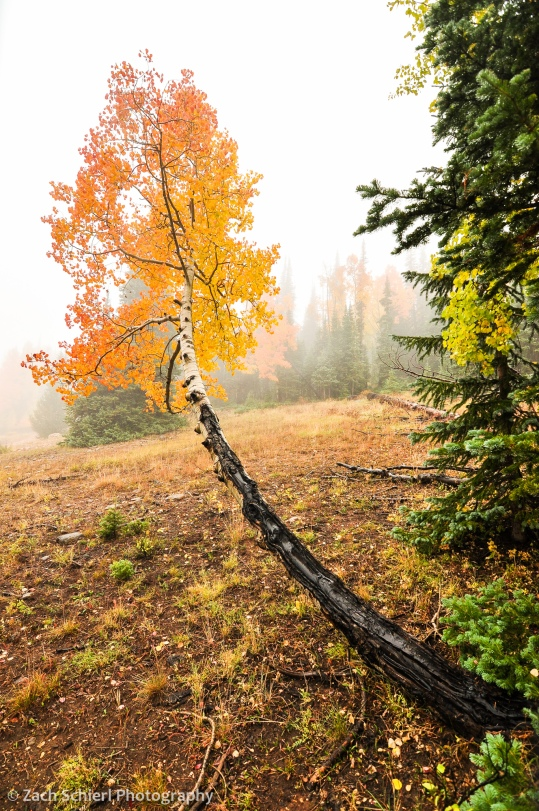 Aspens in fog, Markaguny Plateau, Utah