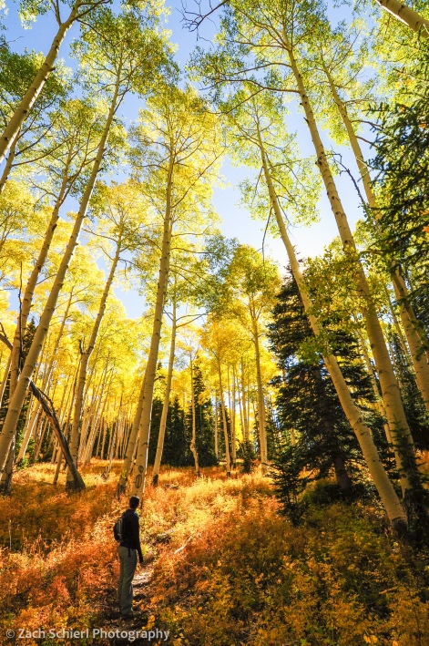 Golden aspens on the Rattlesnake Creek Trail, Utah