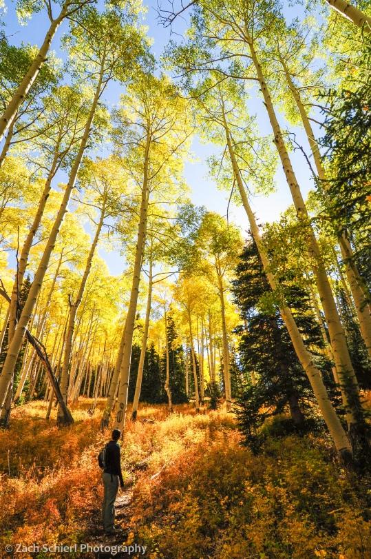 Golden aspens on the Rattlesnake Creek Trail, Utah