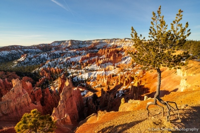 A famous and tenacious Limber Pine (Pinus flexilus) at Sunrise Point observes yet another sunrise, Bryce Canyon National Park, Utah
