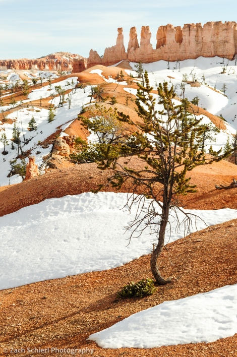 A scraggly Bristlecone Pine (Pinus longaeva) between residual snow patches along the trail to Tower Bridge, Bryce Canyon National Park, Utah