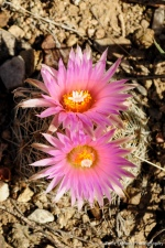 Bright pink beehive cactus flowers