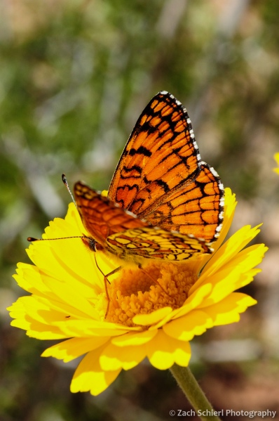 Butterfly on bright yellow Desert Marigold flower