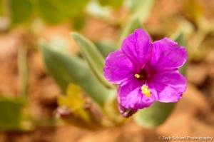 Bright purple Desert Four-O'Clock flower