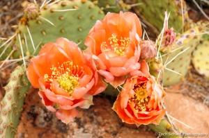 Bright orange desert prickly pear flowers