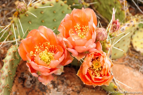 Bright orange desert prickly pear flowers