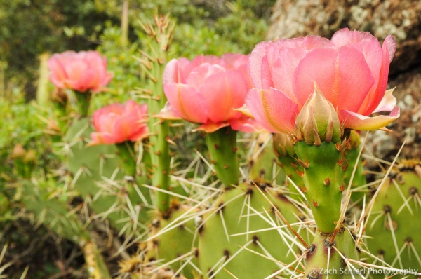 Pink flowers of the Desert Prickly Pear