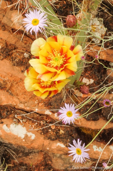 Multi-colored flowers of the Desert Prickly Pear