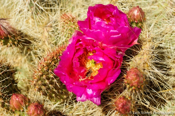 Pink prickly pear flowers