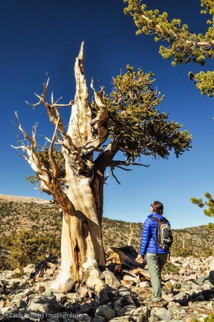 Scraggly bristlecone pine tree