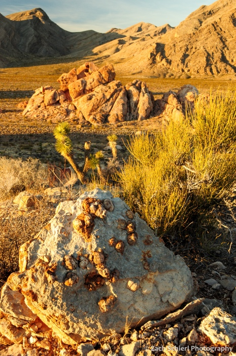 Fossil brachiopods in a limestone boulder with sunlit Joshua Trees in the background.