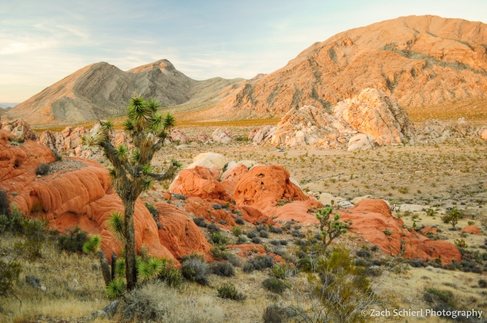 Joshua Trees and red sandstone rock formations