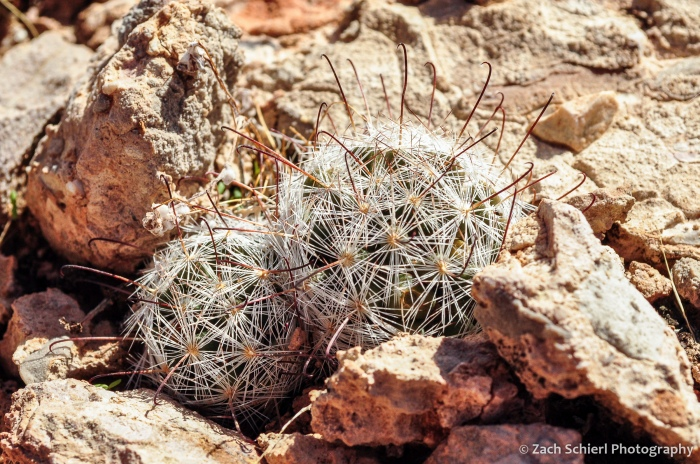 A small fishhook cactus growing in rocks.