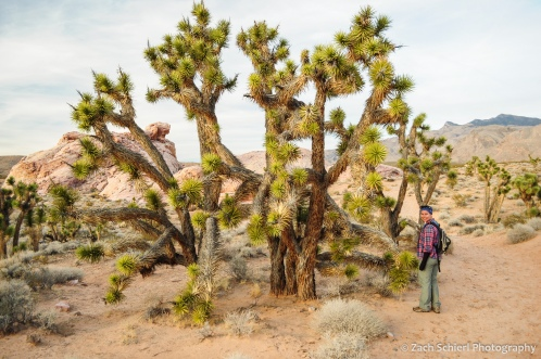 Large Joshua Tree with person for scale.