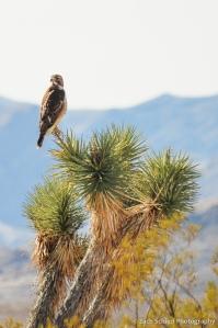 A raptor perches atop a Joshua Tree