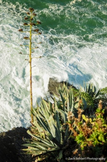 Agave and other plants cling to a rocky sea cliff