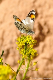 Orange and white spotted butterfly atop a yellow flower.