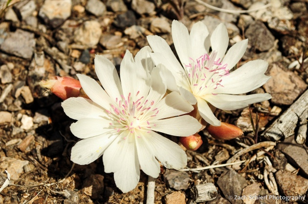 Two white flowers with many petals and pink stamens