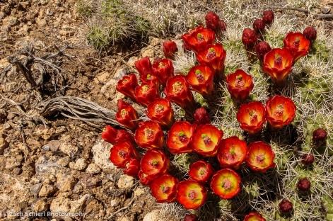 Bright red cactus flowers