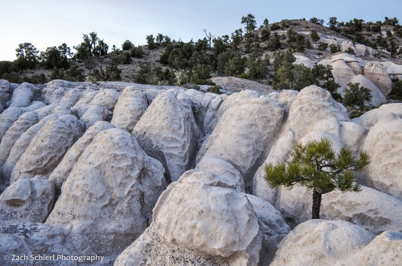 A small pine tree grows in sculpted white rock