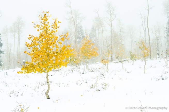 Aspens with golden leaves in fresh snow