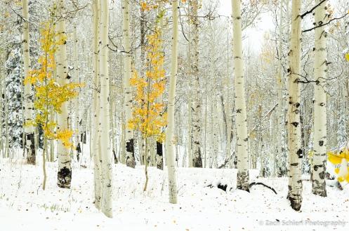 Golden aspens in snow