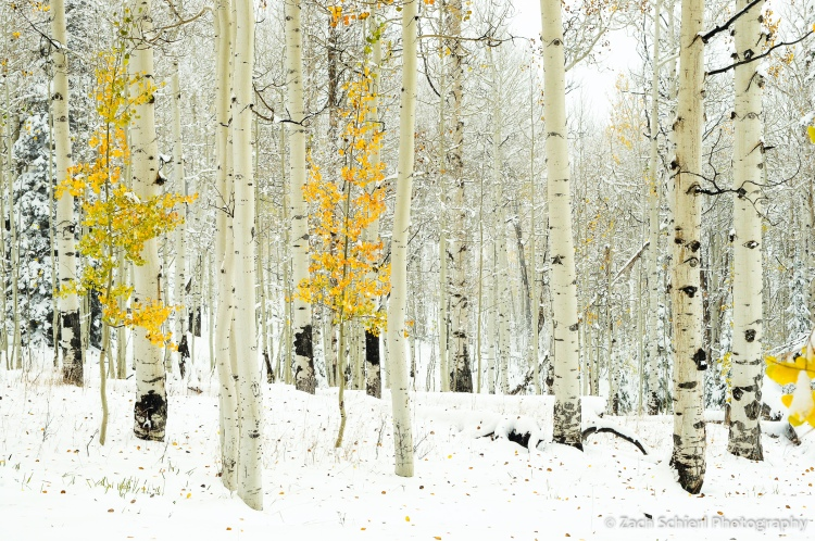 Golden aspens in snow