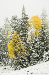 Two yellow aspens trees surrounded by snow covered trees.
