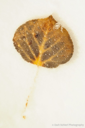 A single orange and brown aspen leaf lying in the snow