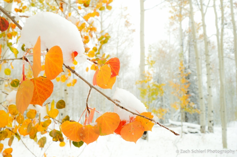 Red and orange aspen leaves in the snow