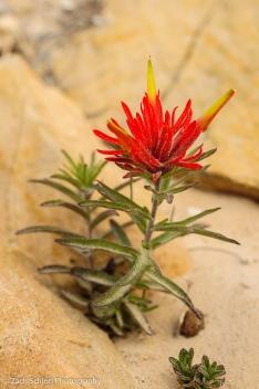 A bright red desert paintbrush flower in the sand