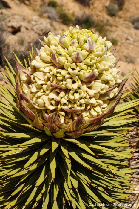 A cluster of white and yellow flowers on the end of a Joshua Tree branchn