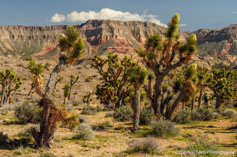Joshua trees in bloom with colorful cliffs in the background