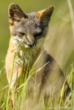 Island Fox, Channel Islands National Park, California