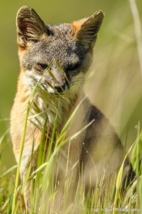 Island Fox, Channel Islands National Park, California