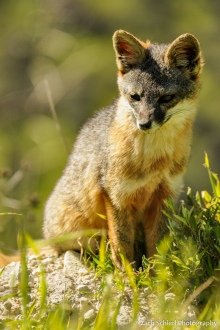 Close-up of a small gray and red fox sitting in the grass