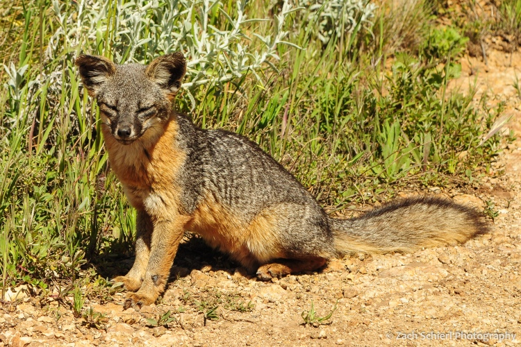 A small gray and red fox sits alongside a dirt path