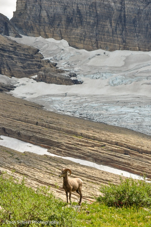 A bighorn sheep stands amongst vegetation with a glacier in the background
