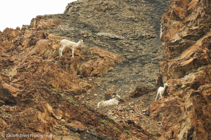 Several white sheep clamber among a cliff of rocks