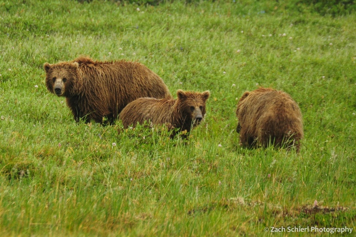 Three grizzly bears amble in a field of green grass
