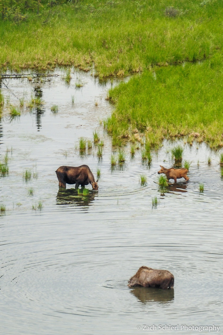 Three moose forage in a pond