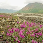 A cluster of bright pink wildflowers growing in a gravel bar along a river