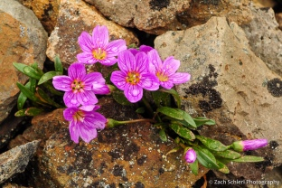 Bright pink wildflowers growing on a rocky slope