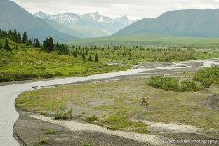 A caribou stands alongside a river flowing out of a snowy mountain range