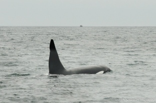 The fin and head of a black and white whale is visible just above the water line