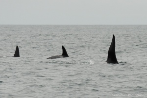Three black fins just upward from the ocean surface
