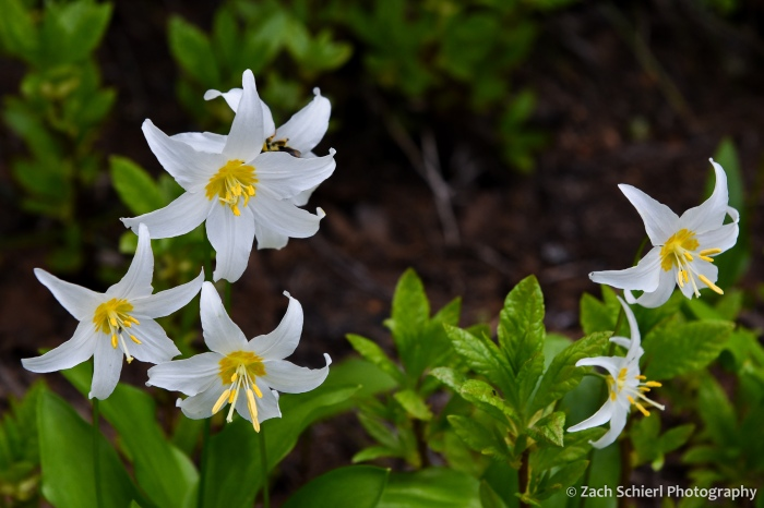 Several five-petaled white flowers with yellow centers and bright green leaves dot the forest floor.