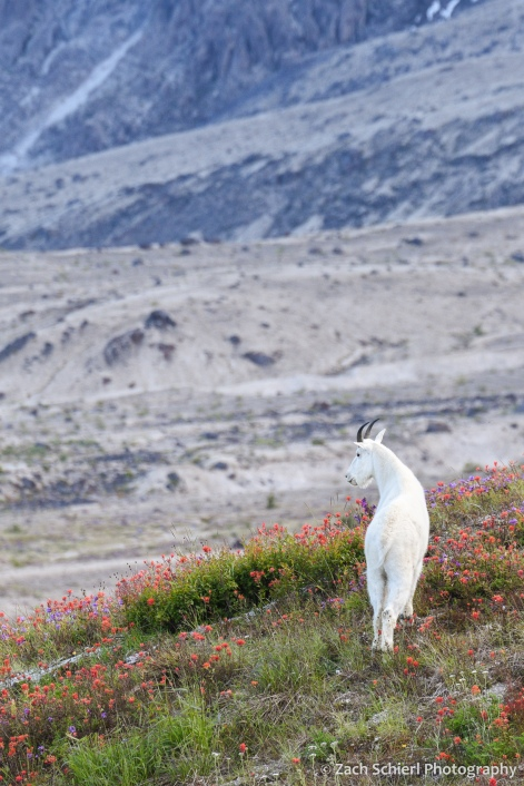 A white mountain goat looks out over the lower slopes of a volcanic peak